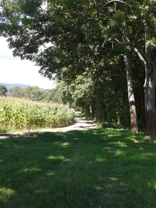 The path from the mill in Sauverny to the village of Grilly, bordered by oak trees and corn.