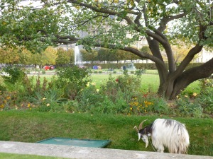 Jardin des Tuileries. The goat in front of the Louvre.