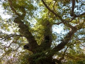 Ancient plane tree in Crete.