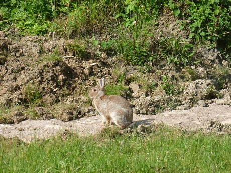 Lots of these visitors, a falsh of white bobtail making me want to shout 'Peter Rabbit' after them