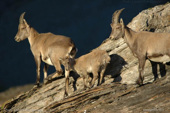 Alpine bouquetin goats
