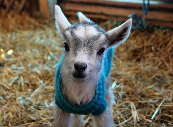 Baby goat with a jumper.