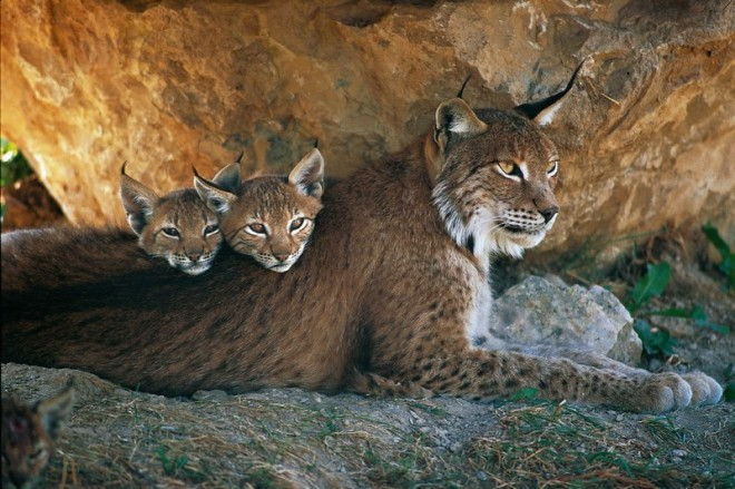 Another lynx mother and cubs, because they are my favourites.