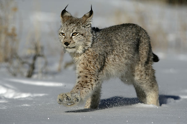 Lynx in the Jura, from ConiferousForest website.