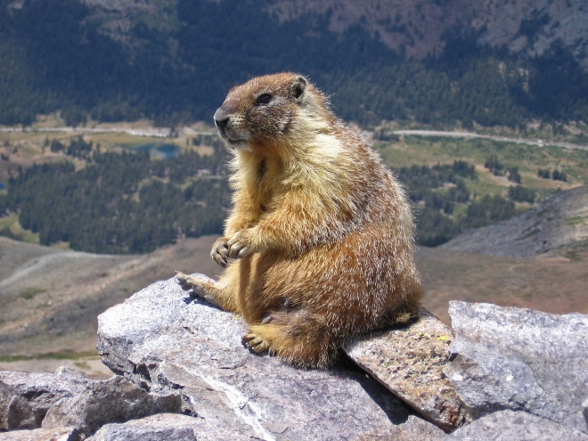 Alpine Marmot sunning itself.