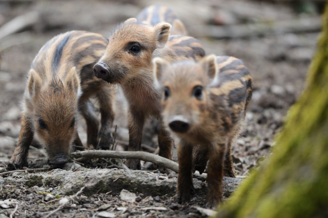Wild boar piglets only a few days old explore their surroundings in the wildlife preserve near Ravensburg, Germany, on April 3, 2013. AFP PHOTO / FELIX KAESTLE GERMANY OUT (Photo credit should read Felix Kästle/AFP/Getty Images)