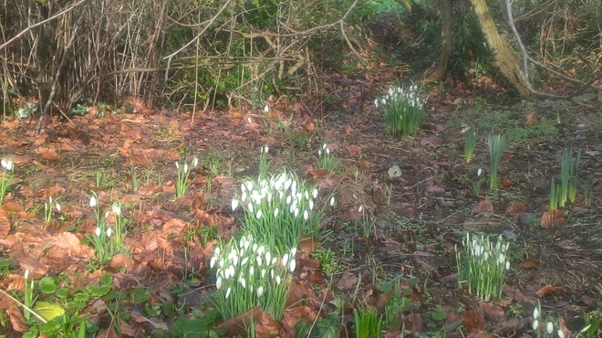 The first snowdrops of the year...